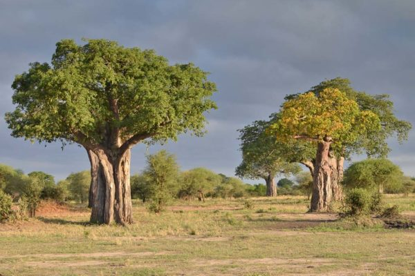 baobabs de tarangire